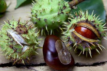 Beautiful fruits horse chestnut №46406