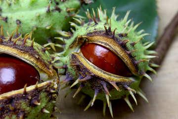 Beautiful fruits horse chestnut №46407