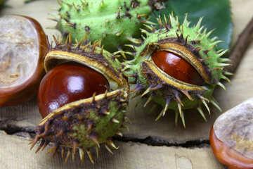 Beautiful fruits horse chestnut №46408
