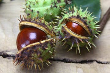 Beautiful fruits horse chestnut №46409