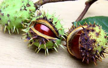 Autumn fruits horse chestnut №46415