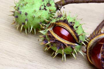 Autumn fruits horse chestnut №46416