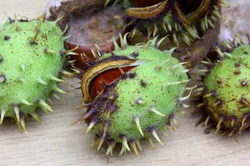 Autumn fruits horse chestnut №46417