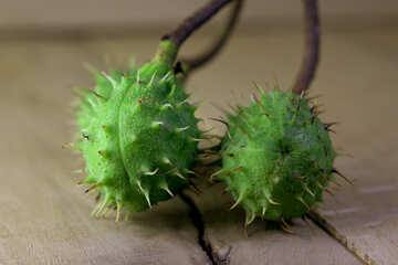 Horse chestnut green prickly fruit №46483