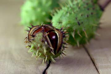 Horse chestnut green prickly fruit №46484