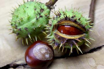 Beautiful fruits horse chestnut №46402