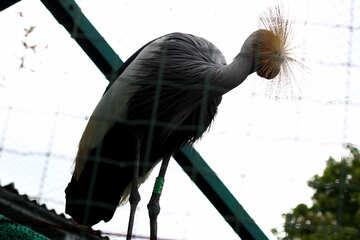 Crowned crane №46025
