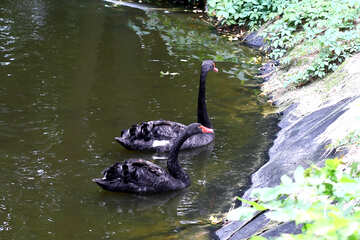 Black swan on the water №46145