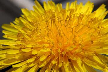 Close-up of dandelion flower №46792