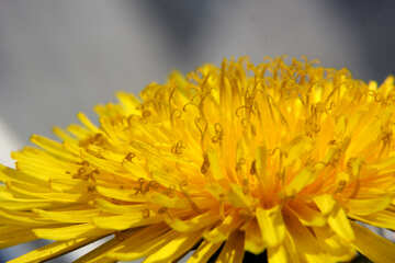 Close-up of dandelion flower №46793