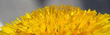 Close-up of dandelion flower №46794