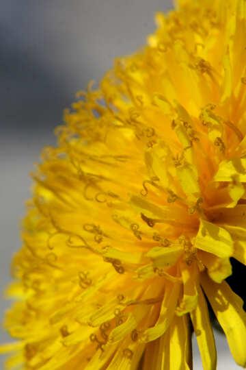 Primo piano del fiore di tarassaco №46796