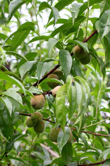 Walnuts on the tree №46833