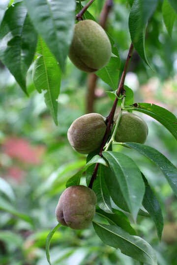 Walnuts on the tree №46834