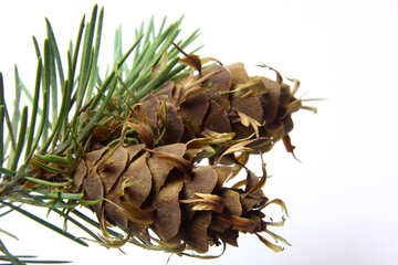 Branch of pine tree with cone №46327
