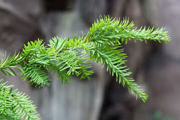The branch of a Christmas tree on the background of rocks №46047