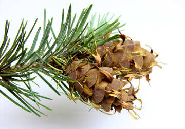 Branch of pine tree with cone №46329