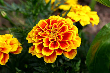 Marigold №46841