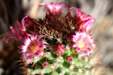 Home cactus flowers №46591