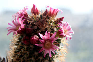 Cactus flowers on the windowsill №46583