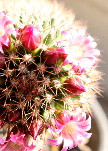 Cactus flowers on the windowsill