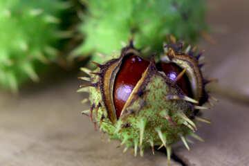 Rosskastanie grüne stachelige Frucht №46485