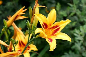 Ein Busch mit gelben Lilien №46825