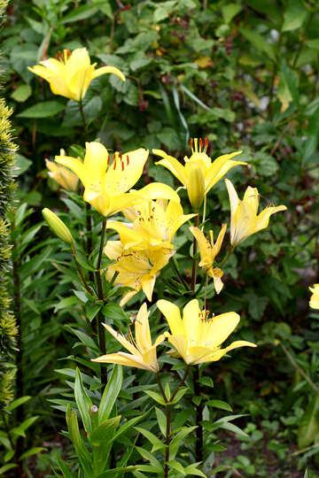 A bush of yellow lilies №46828