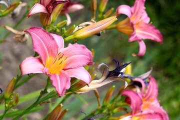 Beautiful Lily №46806