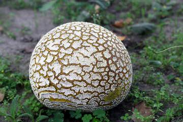 Huge old puffball mushroom №46526