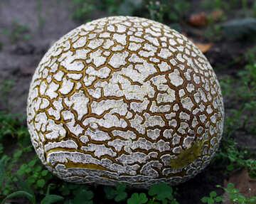 Huge old puffball mushroom №46527