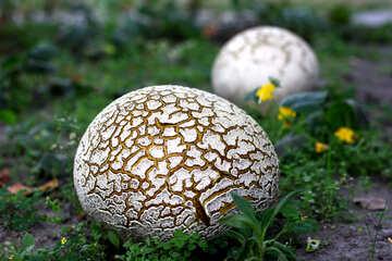 Huge old puffball mushroom №46535