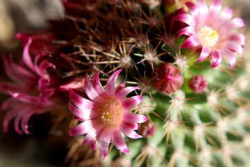 Home cactus flowers №46592