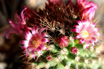 Home cactus flowers №46593