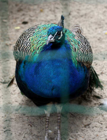 Bird peacock №46020