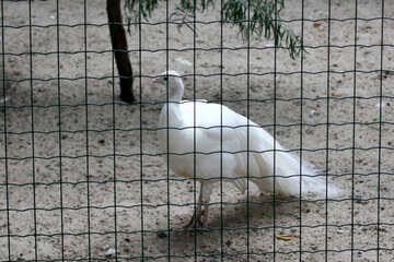 White peacock №46007