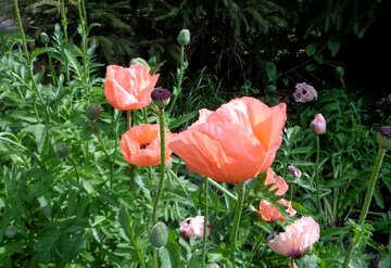 Pink poppy №46699
