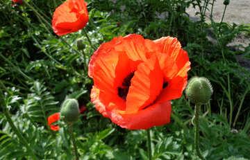 Red poppy flower №46697
