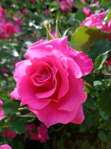 Rosa rosa №46691