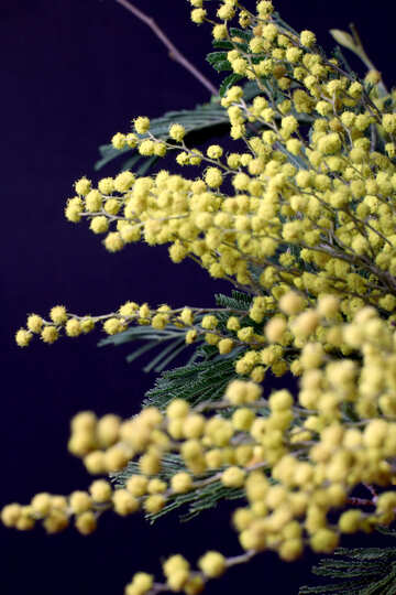 Mimosa flowers isolated on a black background