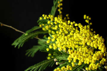 Mimosa flowers isolated on a black background №46283