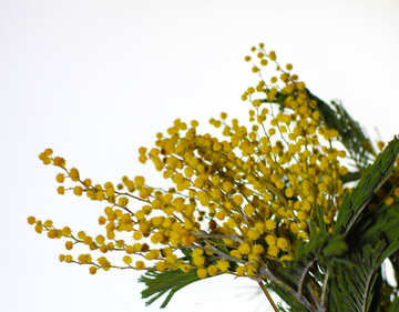 Flowers mimosa isolated on a blue background №46297