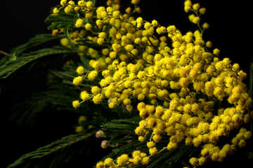 Mimosa flowers isolated on a black background №46275