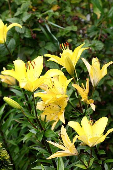 Ein Busch mit gelben Lilien №46827