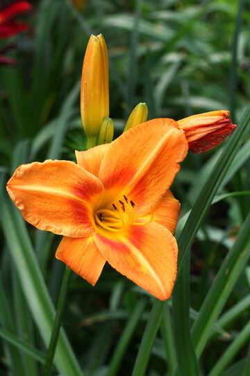 Orange Lily №46814