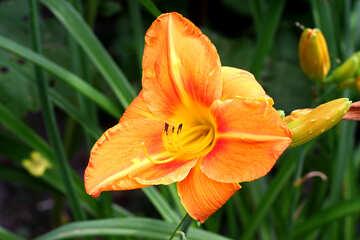 Orange Lily №46817