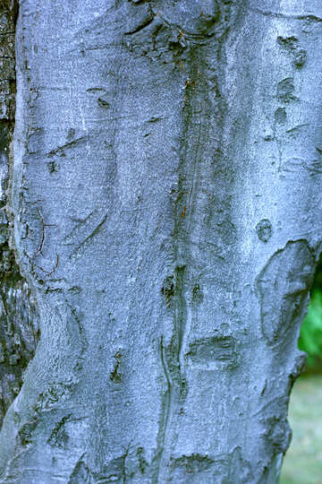 The texture is smooth tree bark №46135