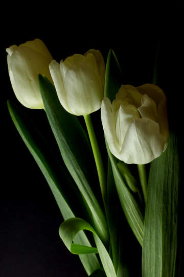 Tulips bouquet on a black background №46269