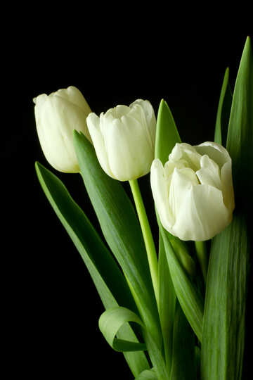 Tulips bouquet on a black background №46270