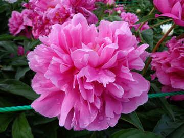 Peonia rosa №46690